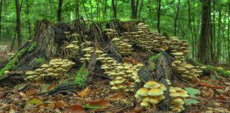 grzyby-grzybobranie-wysyp grzybów