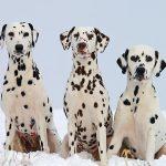 Dalmytyńczyk rasa psów