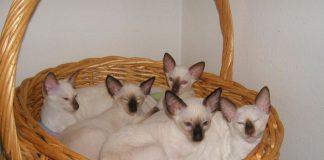 Koty syjamskie w koszyku - fajny quiz o kotach