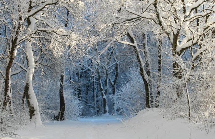 Las zimą, drzewa pokryte śniegiem i szronem, oświetlone promieniami słońca