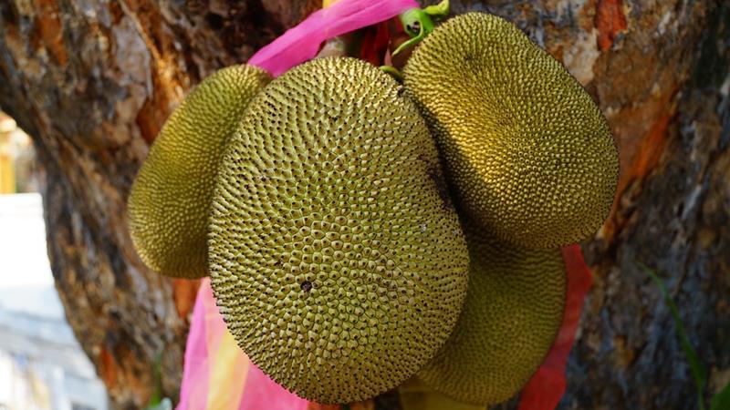 dżakfrut-drzewo bochenkowe-jackfruit-jack tree-artocarpus heterophyllus- wielki owoc