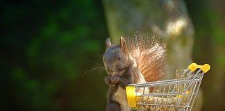 Wiewiórka jedzaca orzechy z koszyka na zakupy