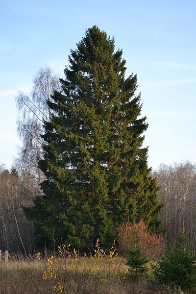 Świerk pospolity,Picea abies