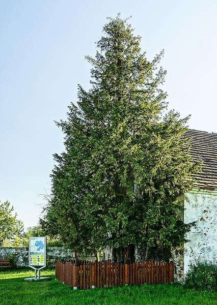 Cis pospolity,Taxus baccata,w Henrykowie Lubańskim, najstarsze drzewo w Polsce, wiek szacowany na 1263 lata