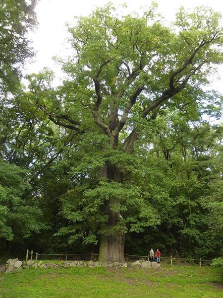 Dąb Edwarda w Rogalińskim Parku Krajobrazowym,Quercus robur