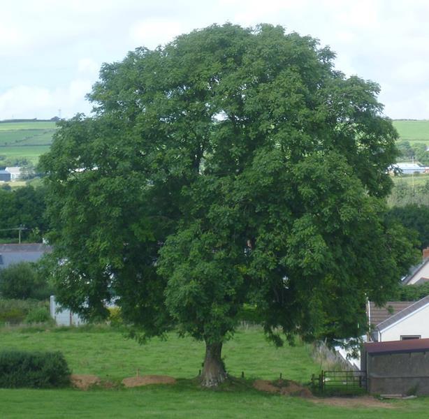 Jesion wyniosły rosnący w Walii,Fraxinus excelsior