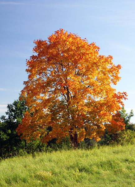 Klon zwyczajny jesienią, Klon pospolity,Acer platanoides