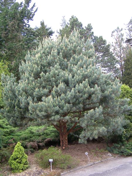Sosna zwyczajna z pączkami na wiosnę, Pinus sylvestris