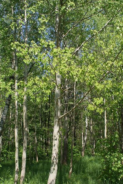 Topola osika, Osika, Topola drżąca, Populus tremula