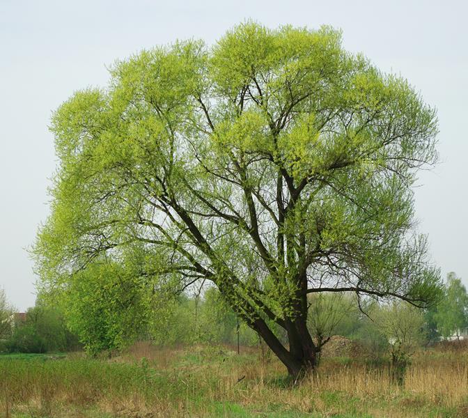 Wierzba krucha,Salix fragilis